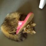 スリッパに顔を突っこんだまま抜けなくなってしまった猫(笑)