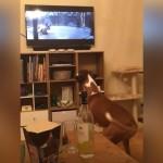 テレビを観ながら大興奮するボクサー犬。ワクワクが止まらないそのワケは…?