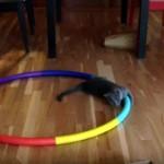 今から回るから見ときにゃさい!?(笑)|フラフープの間違った使い方をするネコ