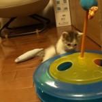 新入りの子猫の動向が気になり、奇妙なポーズで様子を窺う先輩猫(笑)