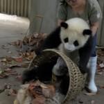 【トリビア】子パンダたちの前では掃き掃除をしない方が良い