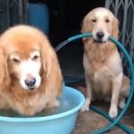 老犬のために水浴び場を用意してあげる後輩のゴールデンレトリバー
