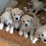 好き好きアピールが止まらないゴールデンレトリバーの子犬たち かわい過ぎ!