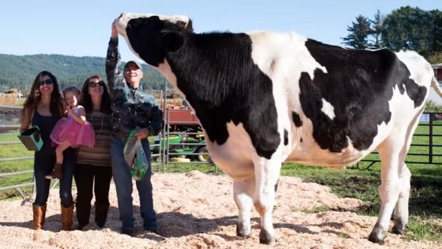 これはデカイ!?|ギネスにも登録された世界一大きな牛