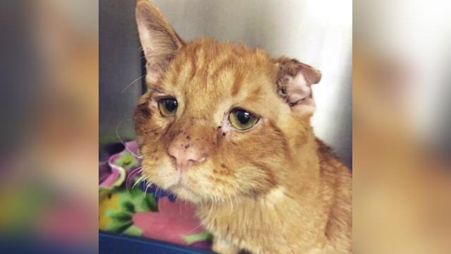 安楽死処分寸前の全身傷だらけの猫を保護施設から引き取った結果、見違えるほど元気な姿に