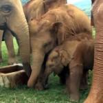 井戸に近づく赤ちゃんゾウを落ちないように優しく保護するゾウさん