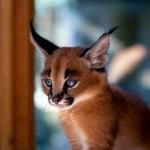 世界で最も魅惑的なネコ科の動物、カラカルの子供時代の写真集 12選