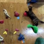 ボルダリングに挑戦する猫、果たしてその結果は?