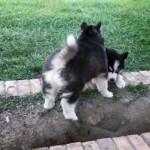 段差を登れないハスキー犬の手助けをする兄犬に起きた思わぬハプニング(笑)