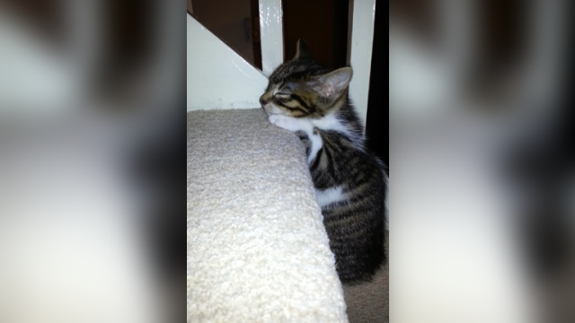 睡魔と戦いながら階段をのぼる子猫、疲れ果てて寝落ち寸前(´0`)ゞ
