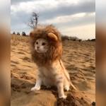 猫に「たてがみ」を付けてみた結果、まるで百獣の王ライオンのように…?