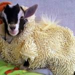 不安症を患ったヤギの心を安定させる唯一の方法、それは意外なコスチュームだった 6枚