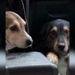 車の中で大はしゃぎする2匹のワンちゃんが引き起こした騒動に唖然!