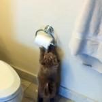 トイレットペーパーで遊ぶ子犬の予想外の行動(笑)
