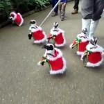 クリスマスシーズン、サンタの衣装を着て園内をパレードするペンギンたち♪