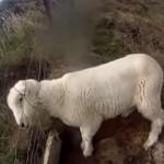 金網フェンスにハマった子羊を救出!ホッとしたのも束の間、子羊に別の悲劇が…