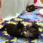 独りぼっちの内気な子猫。じゃれ合う2匹の子猫に勇気を出して近づいた結果