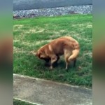 芝生を掘り起こすところを飼い主に見られたワンコ → 咄嗟の行動が笑える