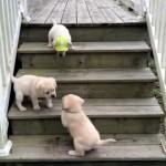 おむすびが転がるように階段から転げ落ちる可愛い子犬たち♡