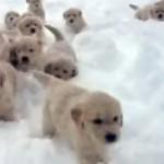 雪をかき分けて進む15匹のゴールデンレトリバーの可愛さに悶絶♡