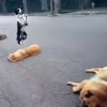 横になったワンコを飛び越える馬飛びならぬ犬飛びが上手なワンコ♪