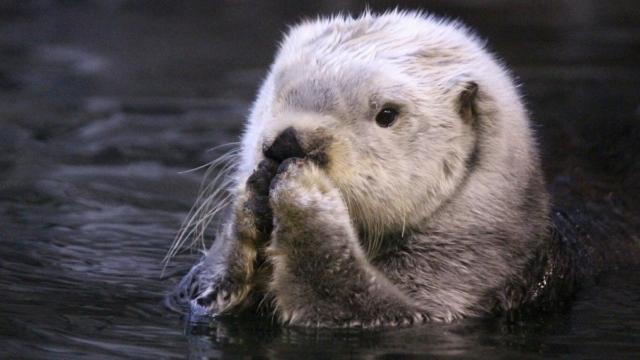 「あ、ぼくの肉球見ます?」水族館で撮られたラッコの写真が可愛すぎ!