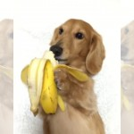 バナナを上手に手に持って食べるミニチュアダックスフント♪