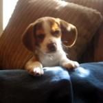 カメラの前で覚えたばかりの遠吠えを披露する生後8週間のビーグルの子犬