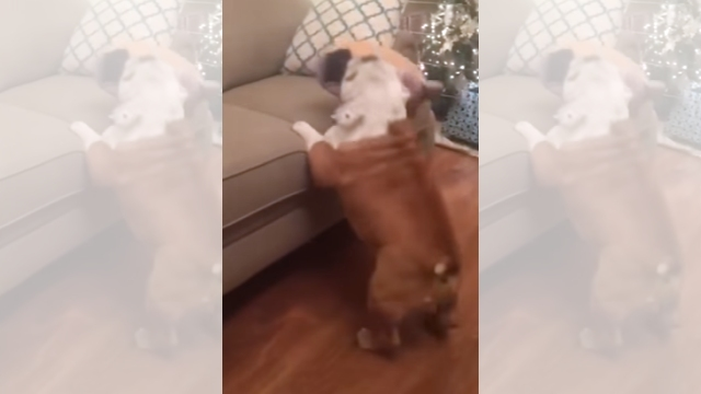 ソファーに飛び乗ろうとしてタップダンスを披露するブルドッグ(笑)