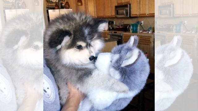 自分そっくりのパペットを見て戸惑いを隠せないポンスキーの子犬