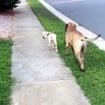 先輩犬と仲良く散歩する後輩犬 → まさかこんな目に遭うなんて