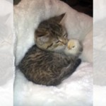 ひよこをペロペロと毛づくろいする子猫の可愛くて微笑ましい光景♡