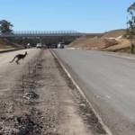 道路を横断しようとして思わぬ悲劇に見舞われたカンガルー