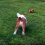 アメフトのボールで遊ぶワンコ → ナイスタッチダウン?と思いきや…