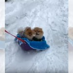 雪ソリに乗った2匹の子ポメラニアンたち → 楽しそうな姿にほっこり♡