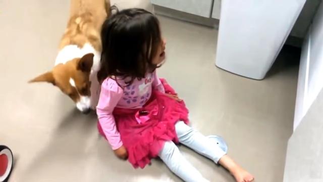 号泣する女の子に近づいて来たコーギー犬のやさしい行動にほっこり♡