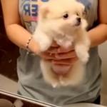エア犬掻きをする子ポメラニアン…可愛さ悶絶級♡