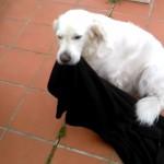 飼い主が制止するのも聞かず、毛布を咥えて外に持ち出す困ったワンコ(笑)