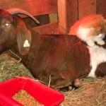 農場にやって来た猫と妊娠中のヤギの心温まるエピソード♡