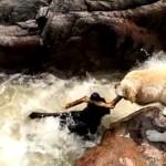 急流に落ちた仲間を助け上げるお手柄ラブラドール犬