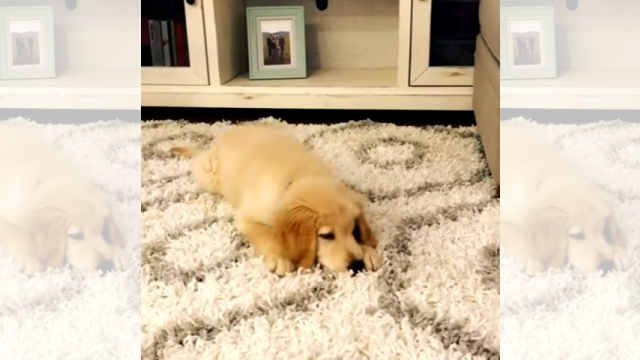 初めて見るベビーキャロットに困惑するゴールデンレトリバーの子犬♡