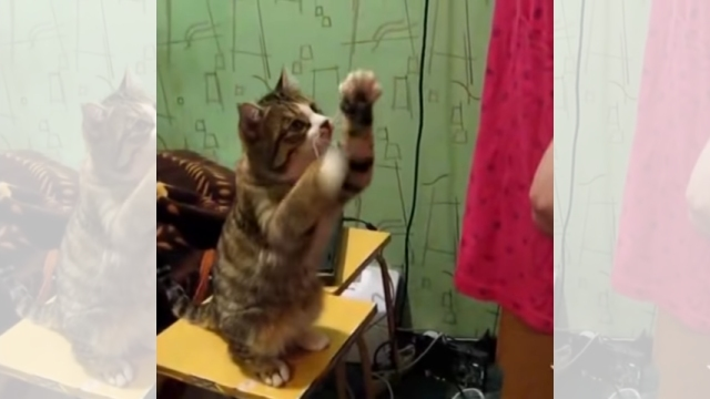 構ってもらいたくて一生懸命アピールする猫たちのかわいい映像集♡