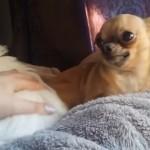 飼い主に可愛がられる同居犬を見て、ヤキモチを焼くワンちゃんたちの映像集