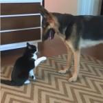大きなシェパード犬に猫パンチをあびせるツンデレ猫、実はこんな目的が…?