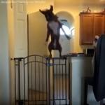 脱出防止ゲートを跳び越えるワンちゃん → 跳躍力はスゴイけど…(笑)