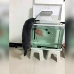 水槽を覗いて魚を狙うニャンコに訪れた予想外の結末(笑)