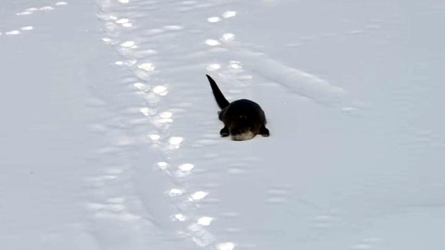 これは楽しそう! → 雪の上をスイスイと滑り雪遊びを満喫するカワウソ♪