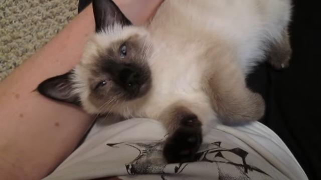 大好きな飼い主に抱っこされる子猫 → 喉のゴロゴロが止まらない♡