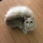 リスのようなモフモフの尻尾がチャームポイントのミヌエットの子猫♡