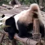 「かゆいの、かゆいの」→ あらわな格好で木の杭にお尻を擦りつけるパンダ